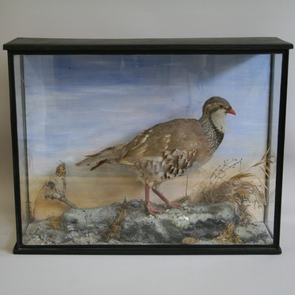 taxidermy French partridge/williamsantiques